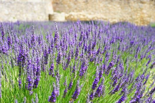 lavender-flowers-blue-lavender-field-159445